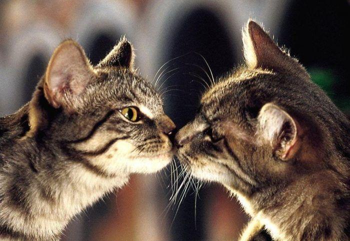 Кот и кошка нюхают друг друга