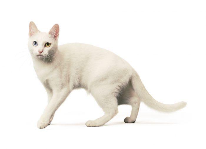 Белый кот као-мани