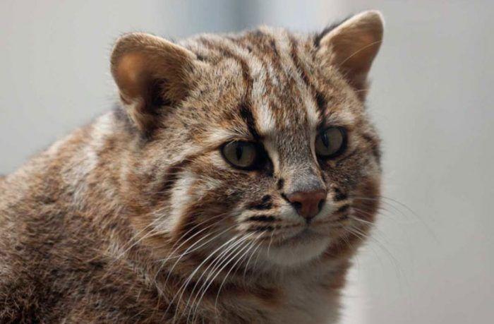 Дальневосточный леопардовый кот