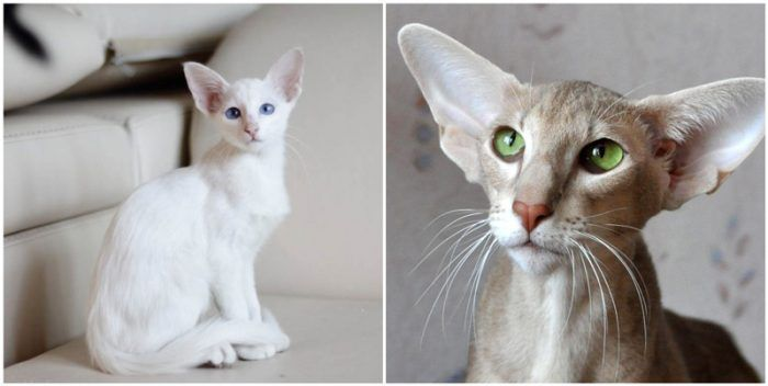 Балинез и Ориентальная кошка