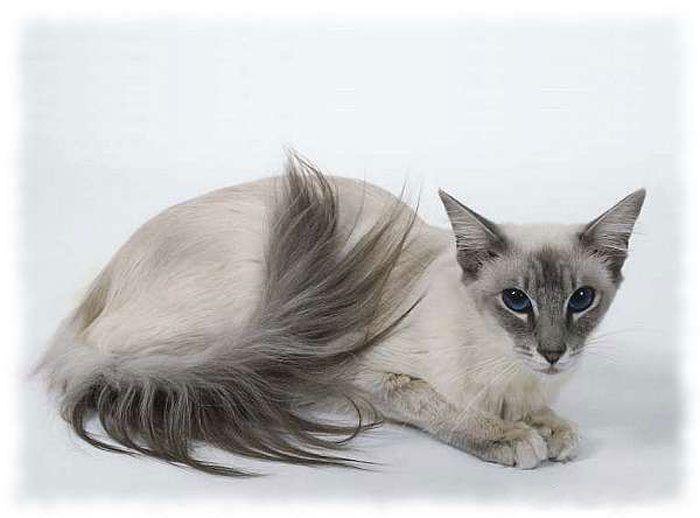 Длинный хвост у кота