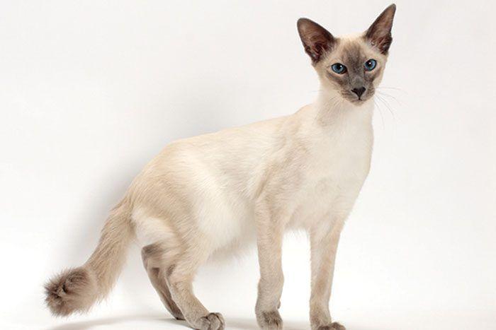 Красивая кошка с вытянутой мордой