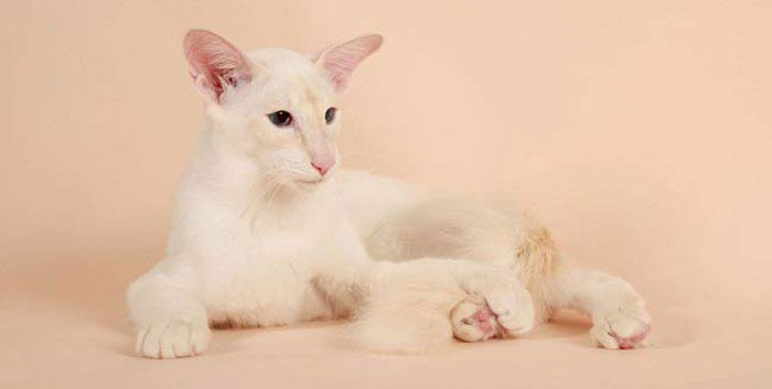 Светлая кошка на розовом фоне
