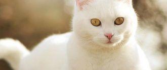 Желтые глаза у кота