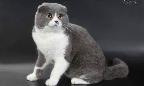 Биколор у кошки