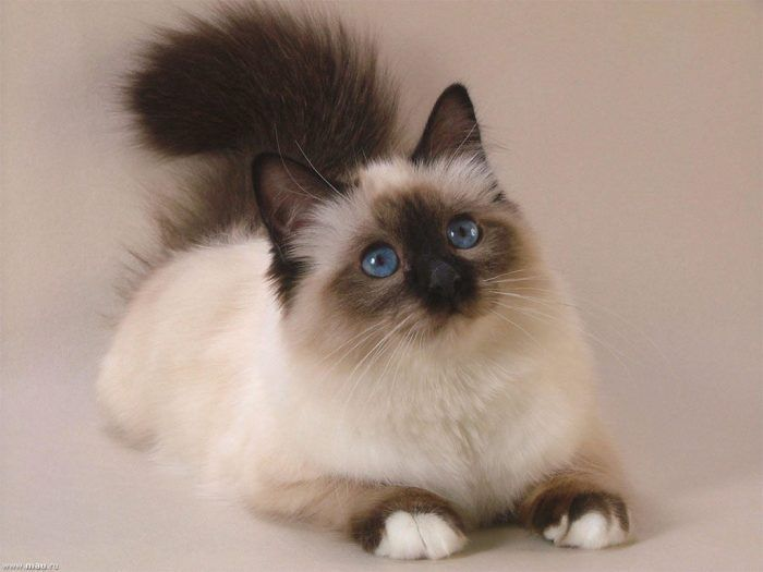 Кошка на бежевом фоне