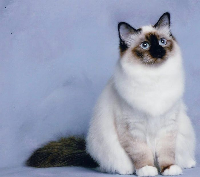 Кот на синем фоне