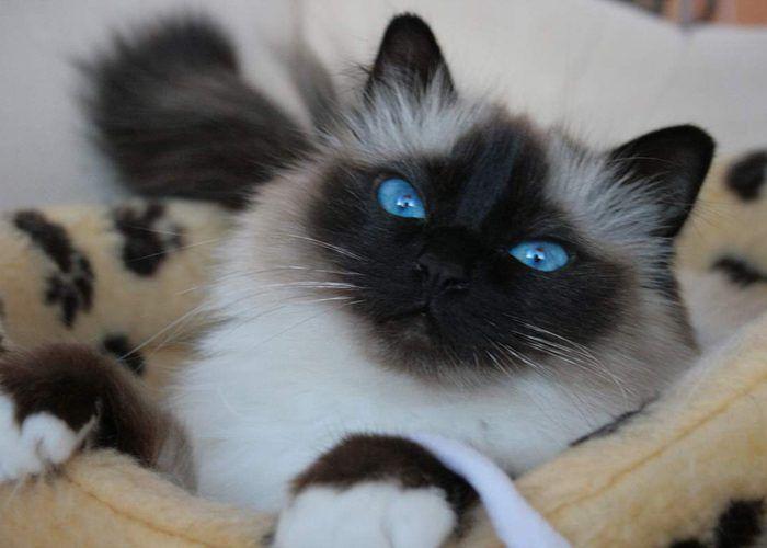 Голубые глаза у бурмы
