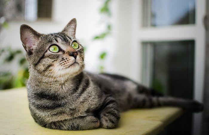 Бразильский короткошерстный кот