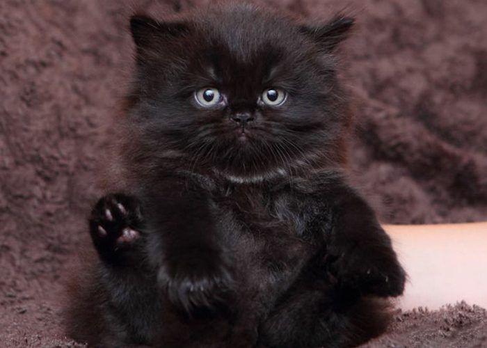 Кот угольного окраса