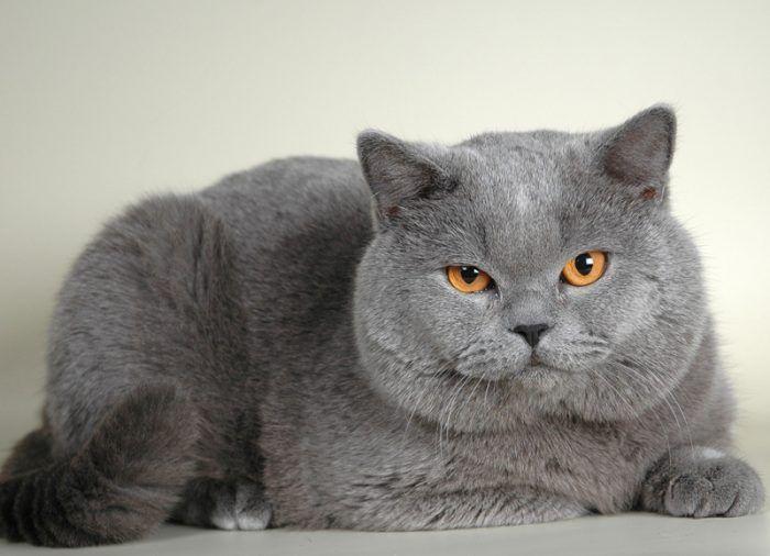 Щекастый кот