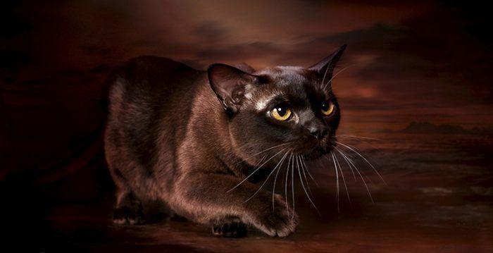 Бурманская кошечка