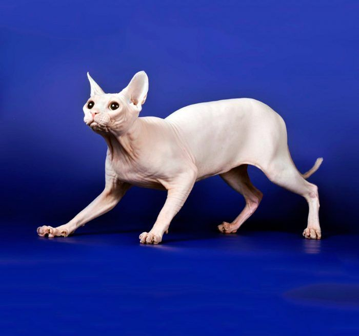 Сфинкс-альбинос