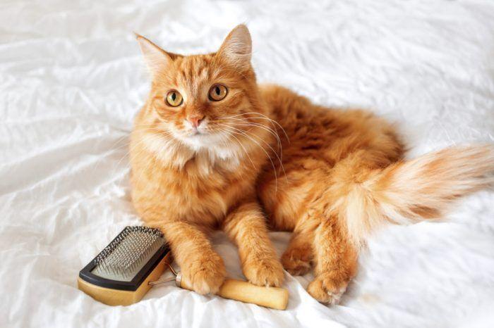 Кот перед вычесыванием