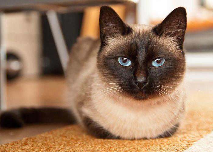 Сиамский кот на ковре