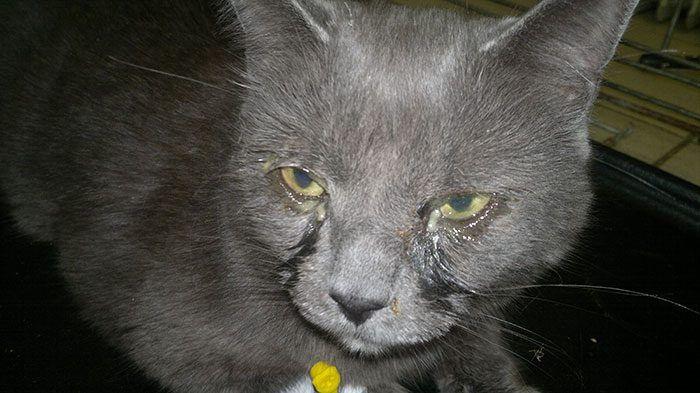 Кошка с хламидиозом