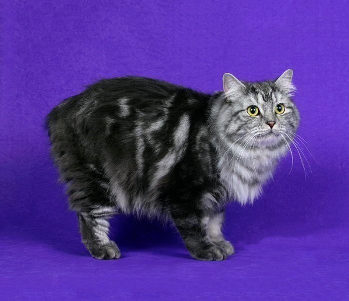 Кошки с полосатым окрасом порода thumbnail