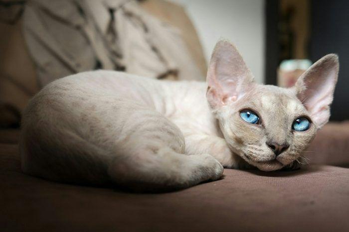 Голубоглазый кот Девон рекс