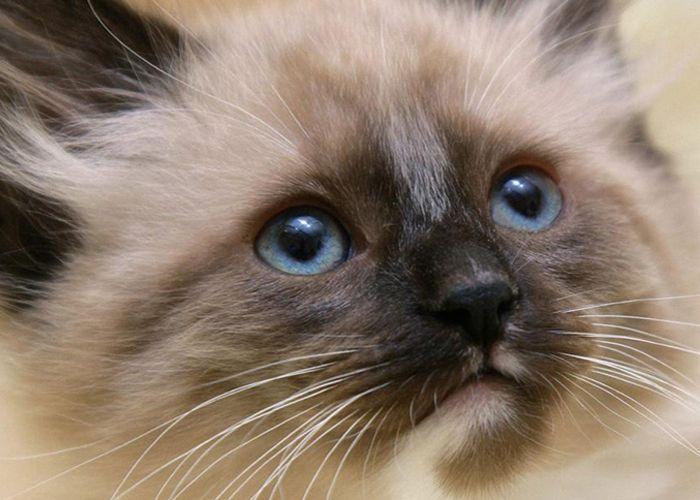 Гималайская кошка: фото, описание породы, характеристика