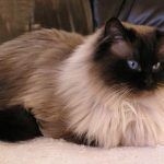 Кот гималайской породы
