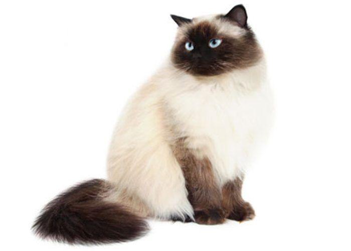 Толстый пушистый кот