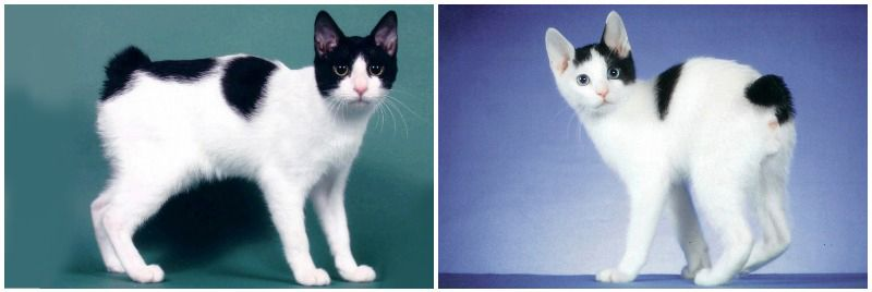 Породы короткошерстных кошек характеристика thumbnail