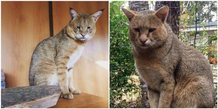 Камышовые коты