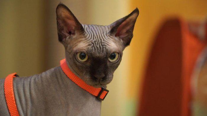 Канадский сфинкс - кот в ошейнике