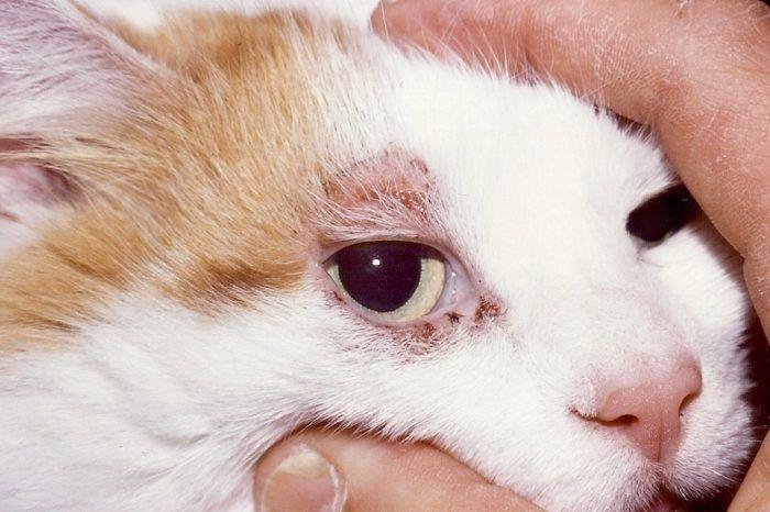 Подкожные клещи у кошки