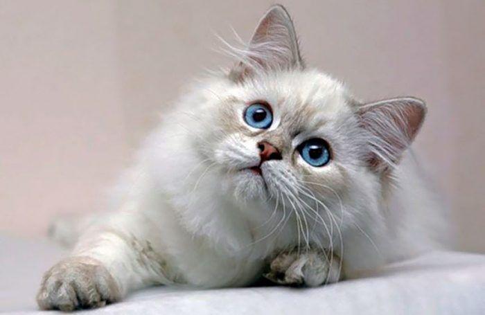 Котенок хайлендер