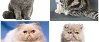 Коты с приплюснутой мордой