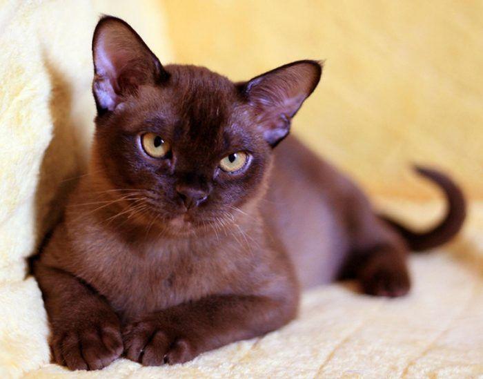 Котенок от бурманской кошки