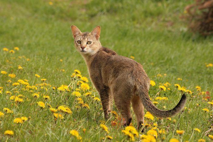 Камышовый кот