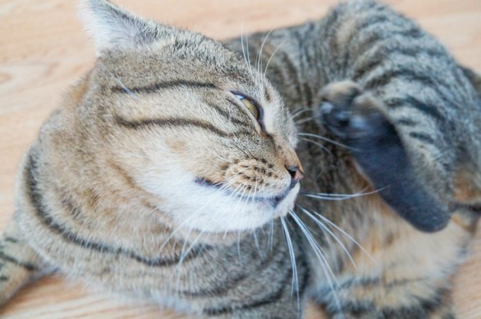 Как узнать есть ли блохи у кошки или кота