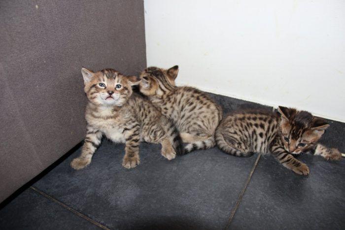 Котята Леохаусы