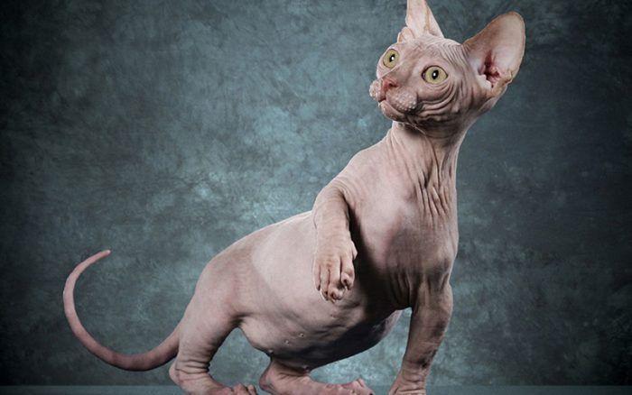 Серый лысый котенок