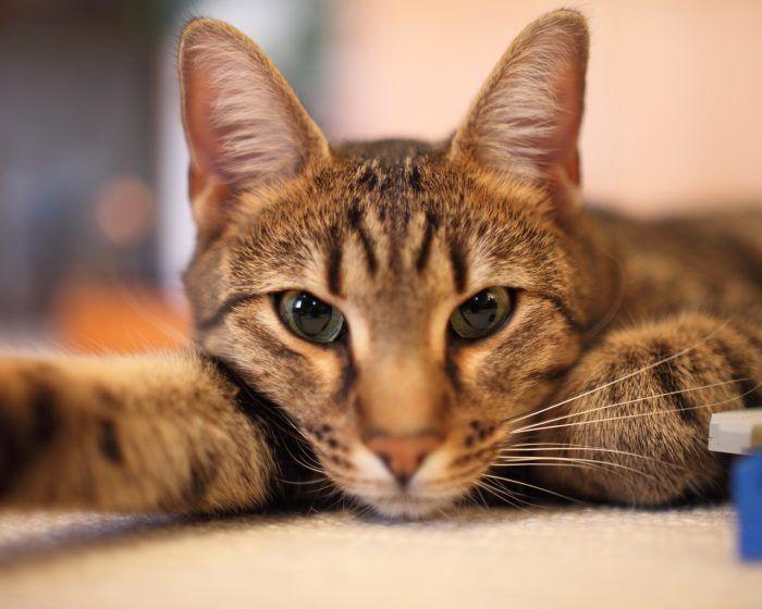 Кошка с длинными ушами