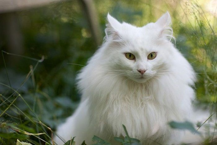 Белая норвежская лесная