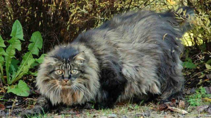 Сибирский кот охотится