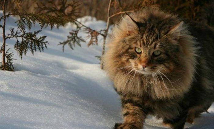 Сибирский кот в снегу