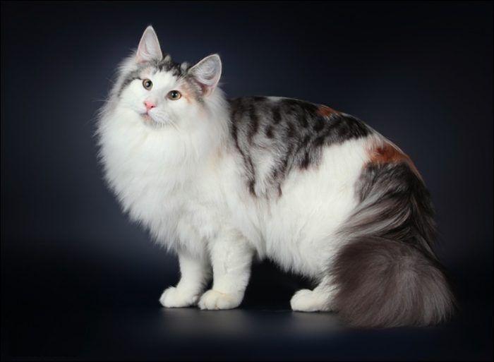 Трехцветная кошка c белым