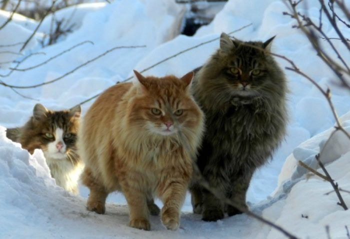 Два сибирский кота