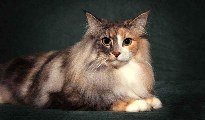 Норвежскаая лесная кошка