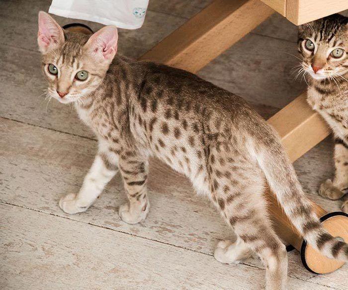 Два котенка оцикета