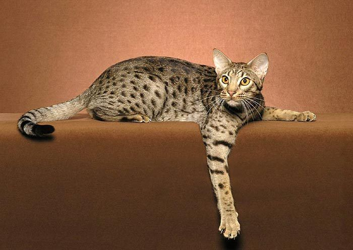 Большая лапа кота