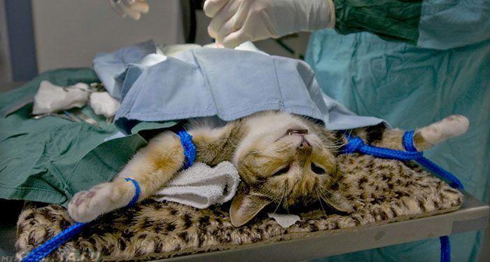 Кошка во время операции