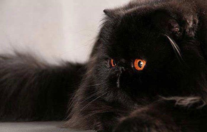 Персидский черный кот