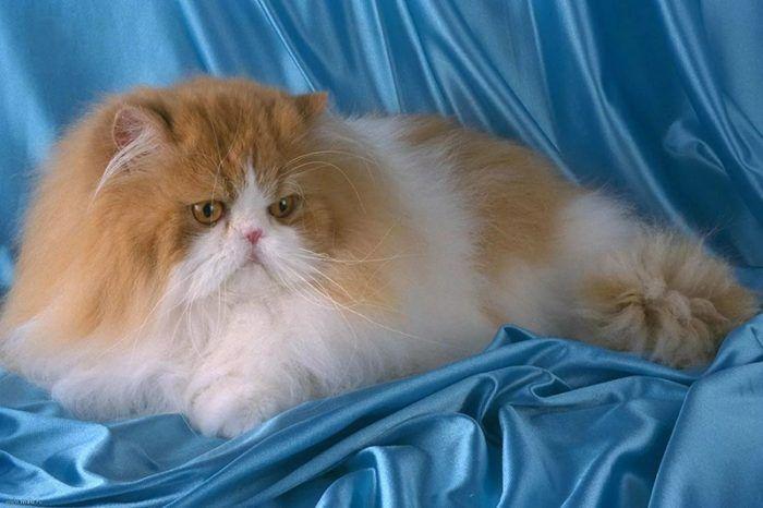 Персидская кошка