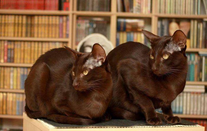 Две кошки гаваны