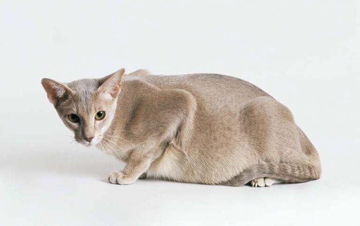 Беременная кошка лежит
